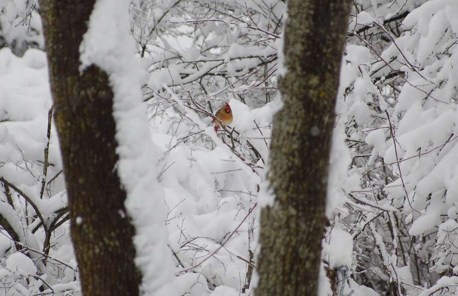 Brian Malloy loves the contrast in this photo from his backyard in Troy that followed a storm late last year. The bird framed by his trees is a female northern cardinal that was still spending some time around the yard. (Brian Malloy)