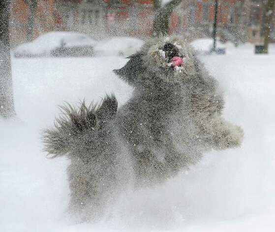 Dusty the dog tries to catch snow on his tongue that's kicked up by his owner Jeffrey Curtin of Albany in Washington Park during a snow storm on Tuesday, Jan. 27, 2015 in Albany, N.Y. Curtin brought home the stray dog he found on the beach in St. Croix. (Lori Van Buren / Times Union) Photo: Lori Van Buren