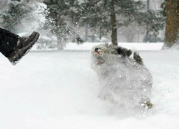 Dusty the dog tries to catch snow in his mouth that's kicked up by his owner Jeffrey Curtin of Albany in Washington Park during a snow storm on Tuesday, Jan. 27, 2015 in Albany, N.Y. Curtin brought home the stray dog he found on the beach in St. Croix. (Lori Van Buren / Times Union) Photo: Lori Van Buren
