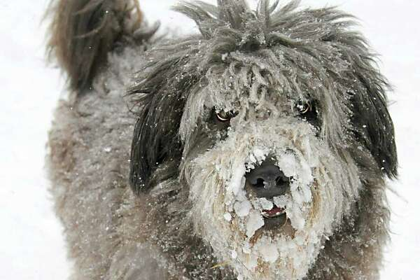 Snow sticks to the fur of Dusty the dog as he plays with his owner Jeffrey Curtin of Albany in Washington Park during a snow storm on Tuesday, Jan. 27, 2015 in Albany, N.Y. Curtin brought home the stray dog he found on the beach in St. Croix. (Lori Van Buren / Times Union)