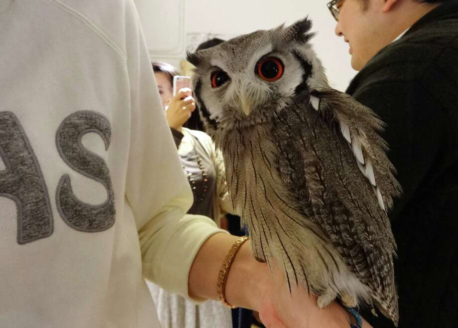 An owl perches on the arm of a visitor at Fukuro no Mise, which means Shop of Owls, in Tokyo. The cafe allows visitors to hold and interact with owls. It's one of a number of cafes in Japan where you can spend time with animals ranging from rabbits to goats. Photo: Linda Lombardi, STR / AP