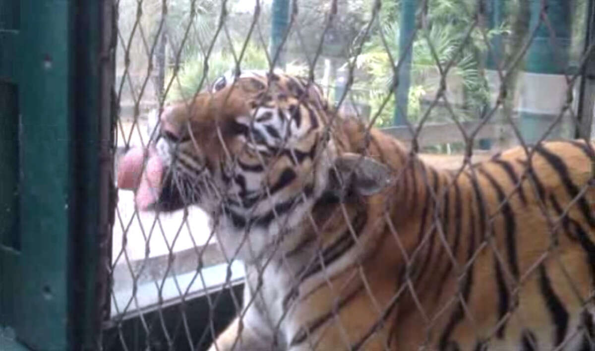 Satu, one of two Malaysian tigers at the Houston Zoo, loves milk, drinking it straight from a spray bottle through a wire fence (good, kitty).