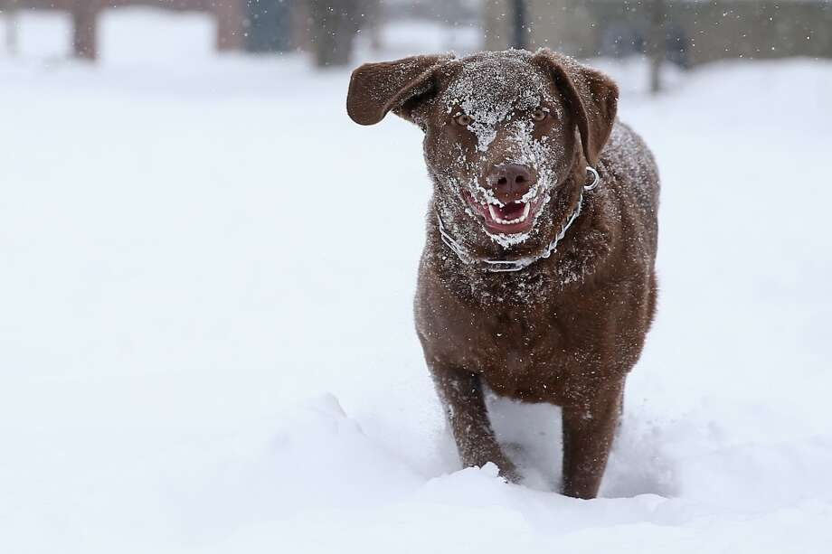 Fozzie, a Chesapeake Bay Retriever, plays in the snow at the Quad on the campus of Harvard University. Photo: Getty Images