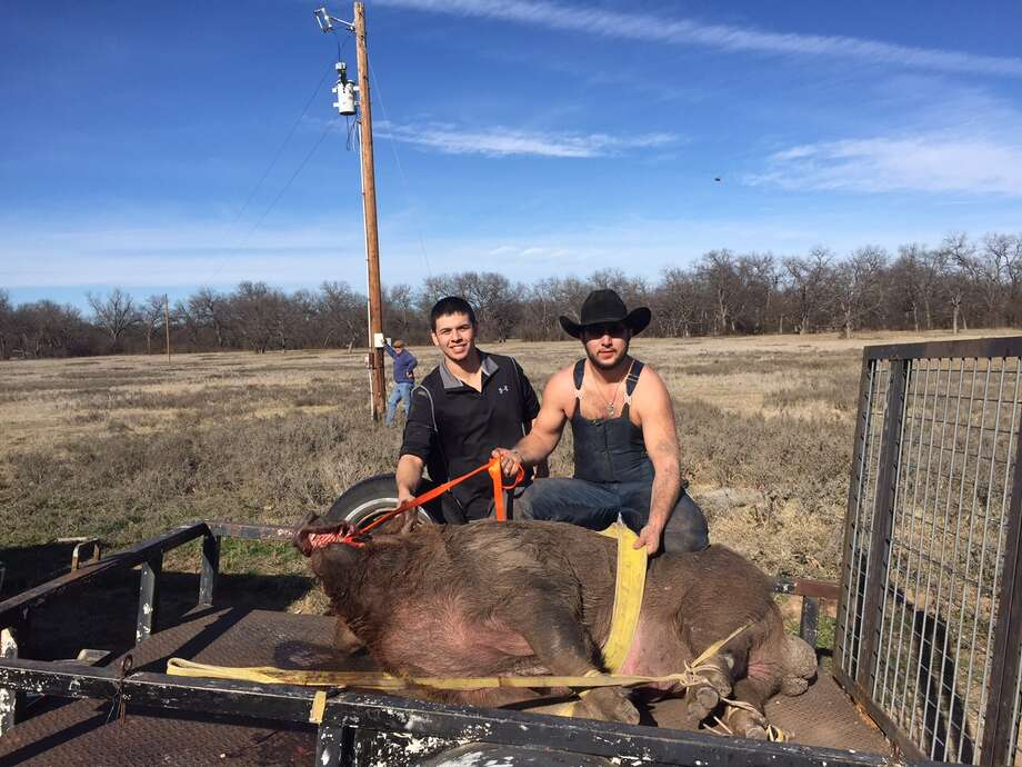 Hunters Blaine Garcia and Wyatt Walton caught a 790-pound boar on Friday, Jan. on a ranch Jan. 16, 2015, on a ranch in De Leon, a town about 35 minutes west of Stephenville. Garcia and Walton are debating the fate of the male hog, but the hog is getting around-the-clock-care. Photo: Courtesy