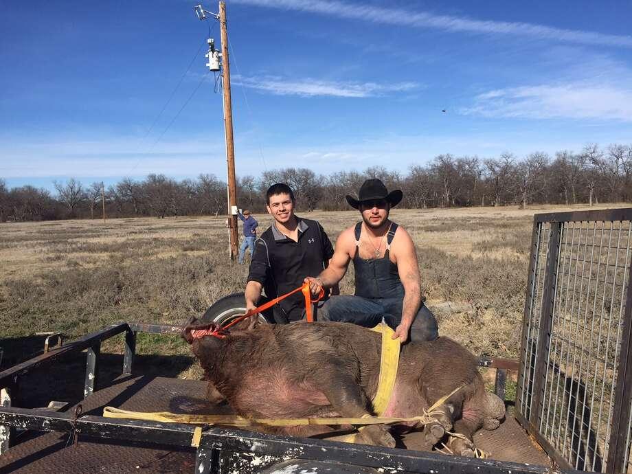 Gargantuan' wild hog weighing nearly 800 pounds caught in