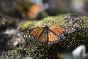 Monarch butterfly population makes a modest rebound - Photo