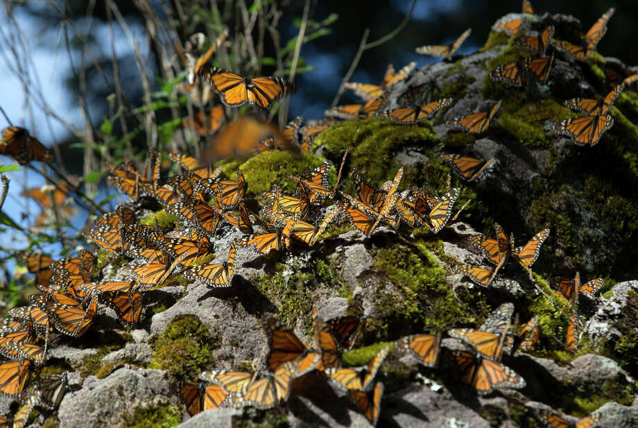Monarch butterflies land on a rock at the Sierra Chincua Butterfly Sanctuary near Angangueo, in Michoacan, Mexico. There is a research facility dedicated to the butterfly at the sanctuary. Photo: Susana Gonzalez / Bloomberg / © 2015 Bloomberg Finance LP