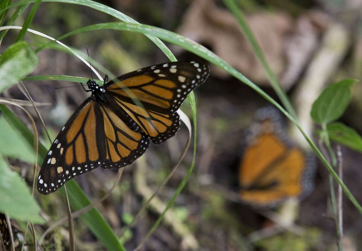 In this Jan. 4, 2015 photo, a Monarch butterfly climbs onto grass, in the Piedra Herrada sanctuary, near Valle de Bravo, Mexico. More butterflies appear to have made the long flight from the U.S. and Canada to their winter nesting ground in western Mexico, raising hopes after their number dropped to a record low last year. But experts still fear that unusual cold temperatures will threaten the orange and black insects. (AP Photo/Rebecca Blackwell)