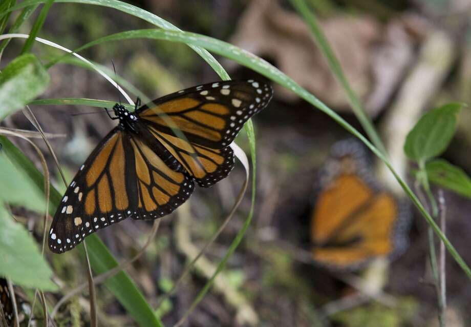 In this Jan. 4, 2015 photo, a Monarch butterfly climbs onto grass, in the Piedra Herrada sanctuary, near Valle de Bravo, Mexico. More butterflies appear to have made the long flight from the U.S. and Canada to their winter nesting ground in western Mexico, raising hopes after their number dropped to a record low last year. But experts still fear that unusual cold temperatures will threaten the orange and black insects. (AP Photo/Rebecca Blackwell) Photo: Rebecca Blackwell, Associated Press