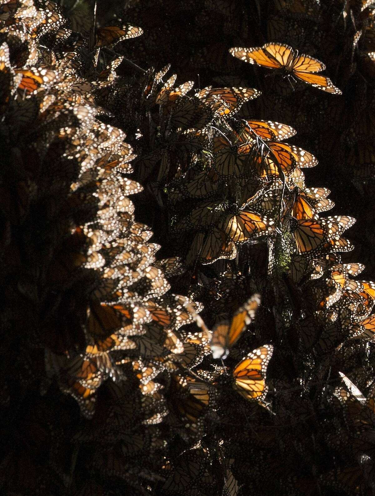 In this Jan. 4, 2015 photo, a kaleidoscope Monarch butterflies cling to tree branches, in the Piedra Herrada sanctuary, near Valle de Bravo, Mexico. More butterflies appear to have made the long flight from the U.S. and Canada to their winter nesting ground in western Mexico, raising hopes after their number dropped to a record low last year. But experts still fear that unusual cold temperatures will threaten the orange and black insects. (AP Photo/Rebecca Blackwell)