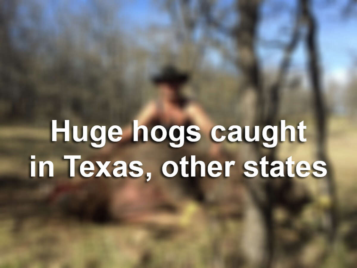From Hogzilla to Monster Pig, see photos of some of the biggest hogs ever caught on camera.