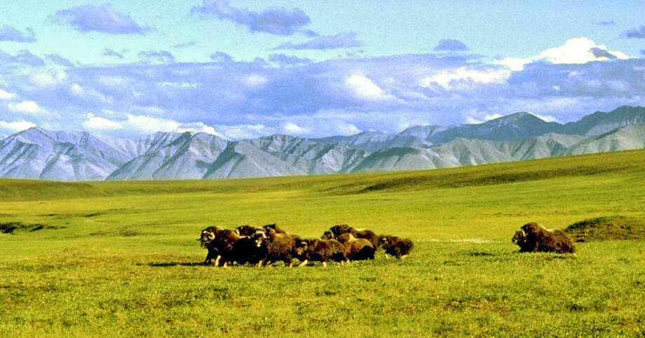 FILE -  A herd of musk ox graze in an area of the Arctic National Wildlife Refuge in Alaska, known as Area 1002, in this undated file photo. President Barack Obama waded into a decades-long fight over drilling in the Arctic National Wildlife Refuge in January 2015, announcing that his administration would pursue a wilderness designation for 12.28 million acres, barring drilling in most of the South Carolina-sized refuge. There is no drilling in the Arctic National Wildlife Refuge now, and it would take an act of Congress to authorize any drilling in the refuge. Congress has tried and failed repeatedly to get legislation to open up the 1.5 million-acre coastal plain to drilling in the past. It came closest in 1995, when President Bill Clinton vetoed it. Obama wouldn't be any more receptive if Congress passed legislation again. Obama's wilderness designation requires Congress' approval too. And Republicans in Congress, already critical of the administration on its energy policies on federal lands, are just as unlikely to give Obama what he wants. (AP Photo/Arctic National Wildlife Refuge, File) Photo: HOPD / ARCTIC NATIONAL WILDLIFE REFUGE