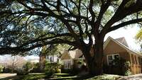 Sprawling tree dominates home - Photo