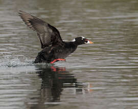 A Surf Scoter, one of the species particularly affected by the mysterious goo that ended up in San Francisco Bay.