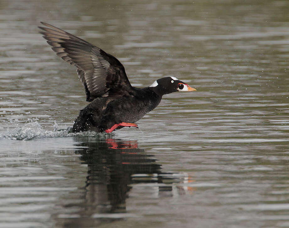 A Surf Scoter, one of the species particularly affected by the mysterious goo that ended up in San Francisco Bay. Photo: Tom Grey / Tom Grey / ONLINE_YES