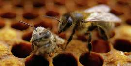 """An emerging honeybee Apis mellifera gets an assist from a worker bee. The Oakland Museum of California exhibit """"Bees: Tiny Insect, Big Impact"""" features slow-motion pollination videos and explains colony collapse disorder to kids through a honeycomb-shaped crawl structure."""
