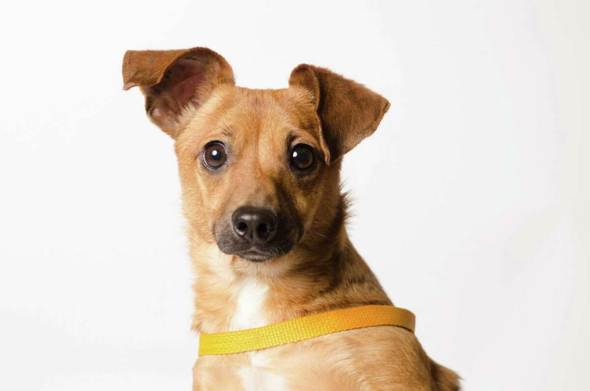 Mario is a 2-year-old neutered male dog Cherrier - terrier and Chihuahua.