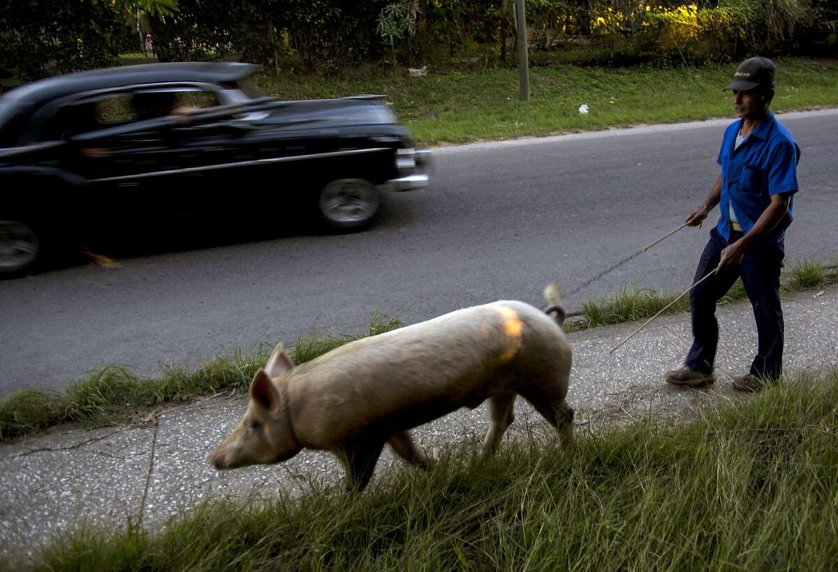 LET'S GO, YOU BIG STUD: Osmar Ramirez walks his pig, Bartolo, to a client's home for mating in La Lisa neighborhood outside Havana. Ramirez charges 100 Cuba pesos, or about $4, for his porcine services.