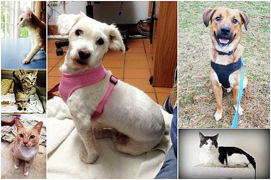 A group portrait of cats and dogs available for adoption at Save Our Strays. Photo: Contributed Photo / Westport News