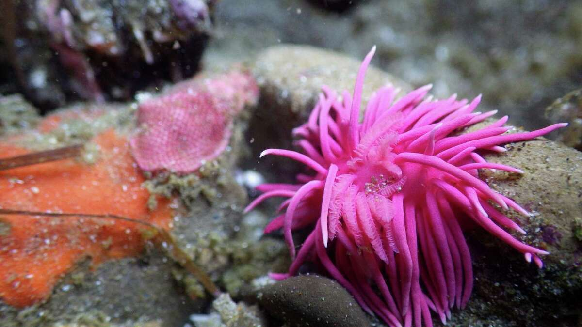 Scientists have reported densities of up to dozens of nudibranchs, like this one, per square meter in tide pools from San Luis Obispo to Humboldt counties.