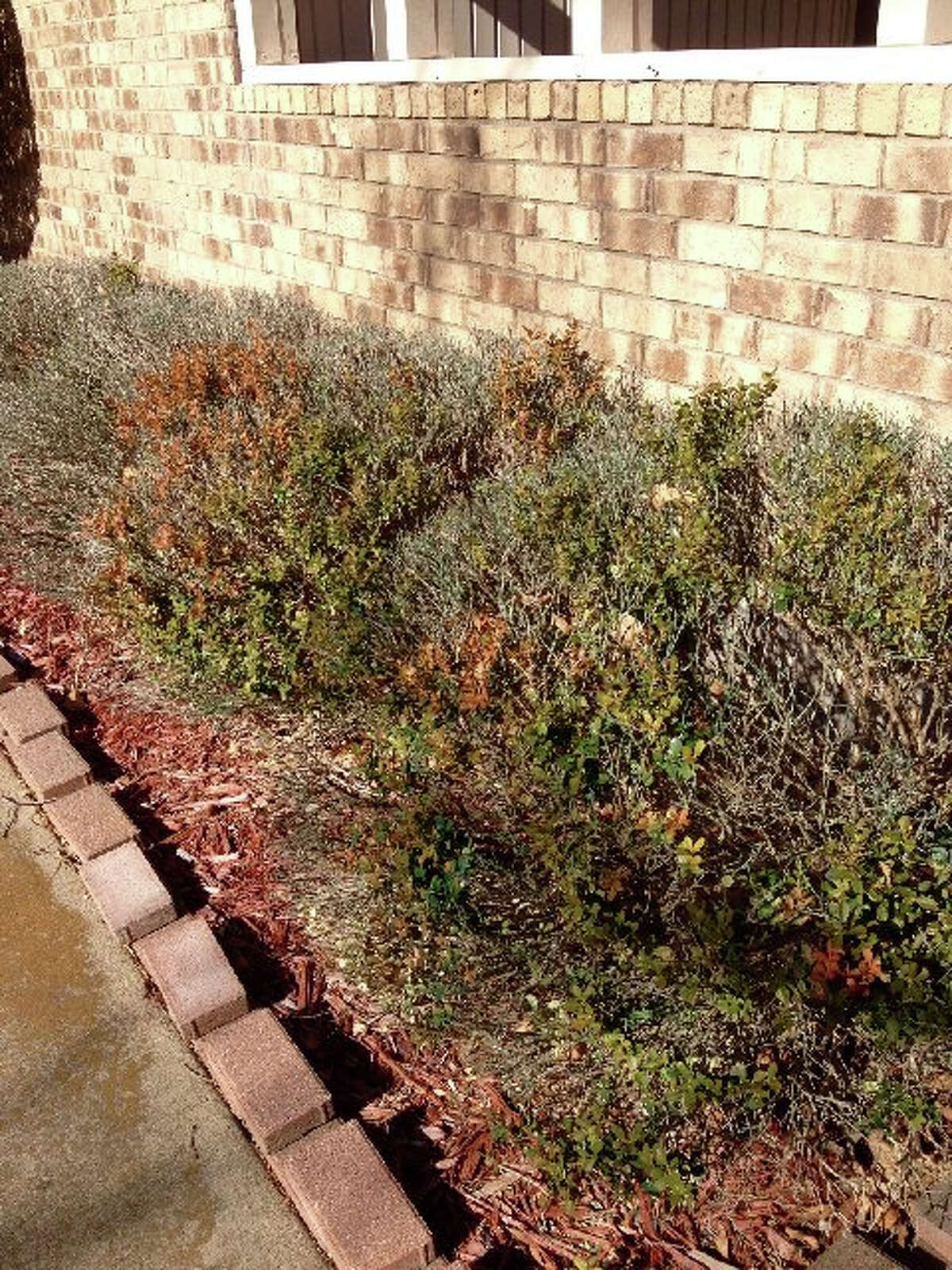 A row of damaged boxwood plants likely suffered the double-whammy of freeze and drought damage. They typically are cold hardy.