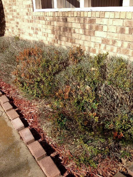 A row of damaged boxwood plants likely suffered the double-whammy of freeze and drought damage. They typically are cold hardy. Photo: Courtesy Neil Sperry