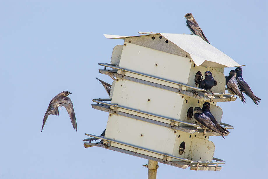 Purple martin scouts from South America will arrive any day in the Houston area.  Nesting pairs will stay to raise their young through August.  Photo Credit:  Kathy Adams Clark.  Restricted use. Photo: Kathy Adams Clark / Kathy Adams Clark/KAC Productions