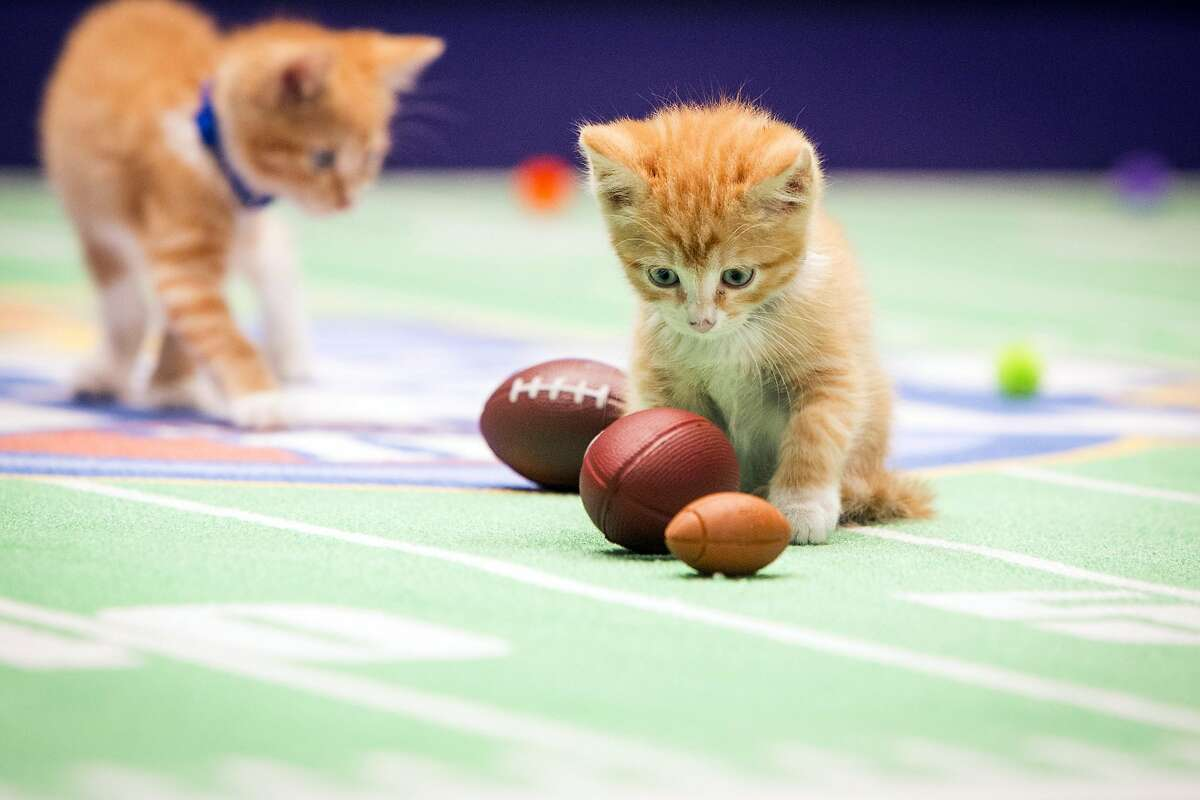 """WE COULD HAVE SWORN WE SAW BELICHICK NEAR THE KIBBLE: Before """"Kitten Bowl II,"""" airs Sunday on the Hallmark Channel, the balls must be inspected. One of these appears to be severely deflated."""