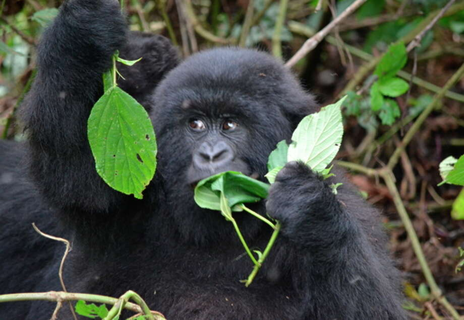 Virunga National Park in the Democratic Republic of Congo is home to a quarter of the world's remaining 900 mountain gorillas. Photo: Safari Collection / ONLINE_YES
