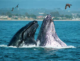 Whales breaching off the California coast near Santa Cruz.