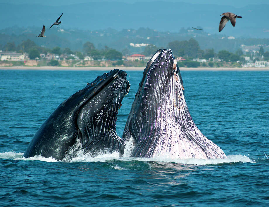Whales breaching off the California coast near Santa Cruz. Photo: Santa Cruz CVC / ONLINE_YES