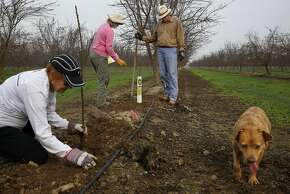 Aletha (center) and Tom Frantz (right) plant almond trees with Judy Reed on the Frantz farm, as dog P.D. wanders by.