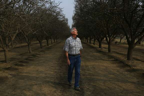 "Mike Hopkins pictured in his ailing almond orchard Jan. 29, 2015 in Bakersfield, Calif. Hopkins noticed that his cherry trees were starting to die in 2010 and spent the next three years trying ""everything"" to save them. In the end, they pulled the trees up and planted pistachios. Now his nearby almond trees seem to be dying, too. The levels of saline and chloride became so high, the well on the same land became unusable. ""It baffled me, I just couldn't understand how it could happen, because we've always had good water there,"" he said."
