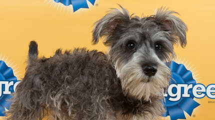 Fritz, a 15-week-old schnauzer became a member of the Fraleigh Family of Norwalk, Conn.