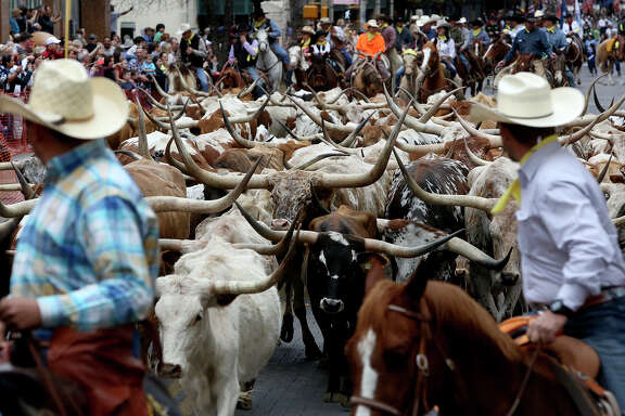 Longhorns walk on Houston Street during the Western Heritage Parade and Cattle Drive in downtown San Antonio in February 2014.