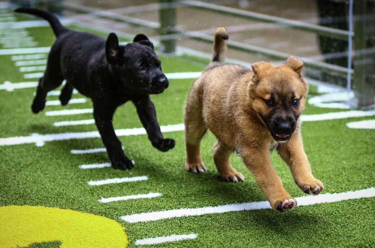Chow mix puppies gain yardage on the turf at Animal Planet's Puppy Bowl Cafe in downtown Phoenix.