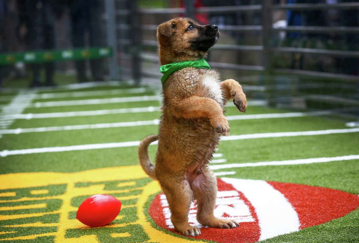 Chow mix puppies play on the turf at Animal Planet's Puppy Bowl Cafe in downtown Phoenix on Friday, January 30, 2015. Animal Planet teamed up with the Arizona Humane Society to bring spectators in Phoenix for the Super Bowl daily doses of cuteness. The puppies are all available for adoption through the Arizona Humane Society.