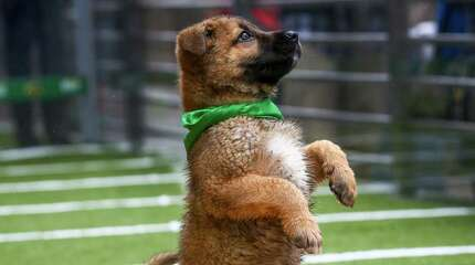 Chow mix puppies play on the turf at Animal Planet's Puppy Bowl Cafe in downtown Phoenix on Friday, January 30, 2015. Animal Planet teamed up with the Arizona Humane Society to bring spectators in Phoenix for the Super Bowl daily doses of cuteness. The puppies are all available for adoption.