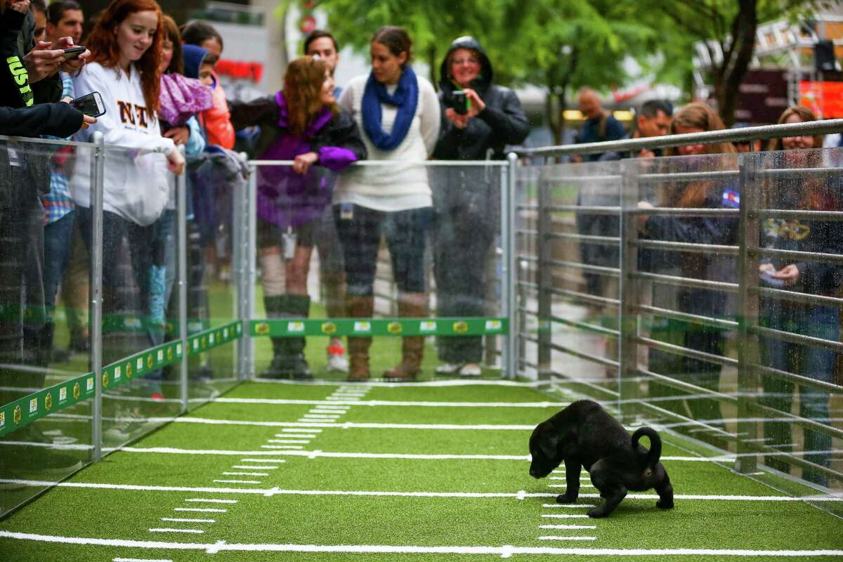 A chow mix puppy takes a timeout during Animal Planet's Puppy Bowl Cafe in downtown Phoenix.
