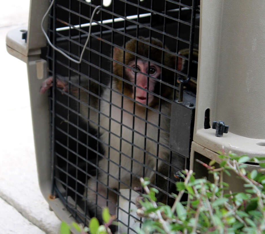 Animal Control Services fined and cited a man whose Macaque monkey bit a female bank employee on the North Side last week. ACS said ACS officers removed the monkey from a home off Babcock Road on Thursday. The primate is being housed by Primarily Primates, a state-arrpoved quarrantine facility.