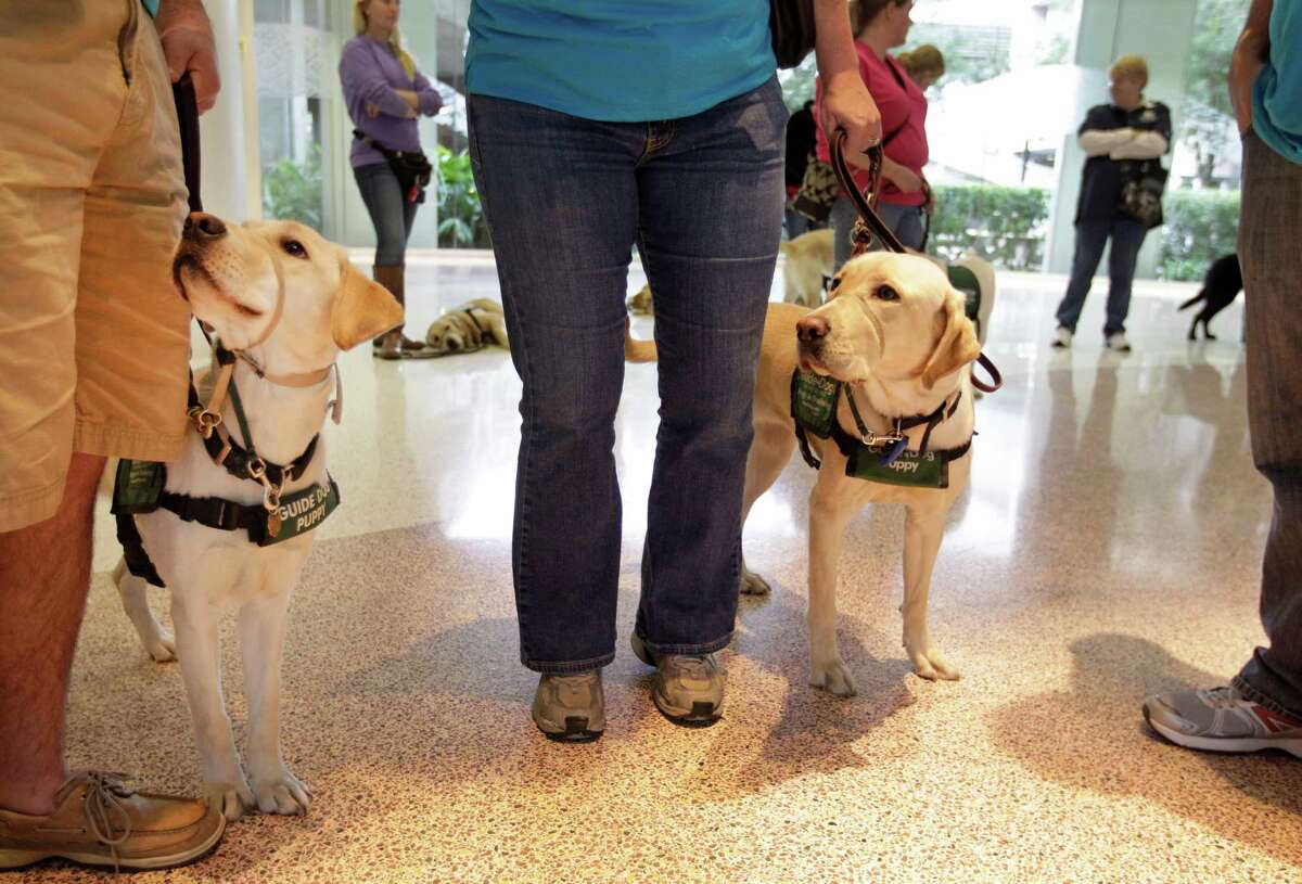 Members of Lone Star Guide Dog Raisers are shown working with dogs at George Bush Intercontinental Airport Saturday, Jan. 31, 2015, in Houston. The volunteer group raises puppies for Guide Dogs for the Blind. The event brought volunteers from clubs throughout Texas and was held to expose the dogs to the hustle bustle of the airport. As guest of Alaska Airlines the dogs and trainers went through security screenings and boarded a plane as part of their training.