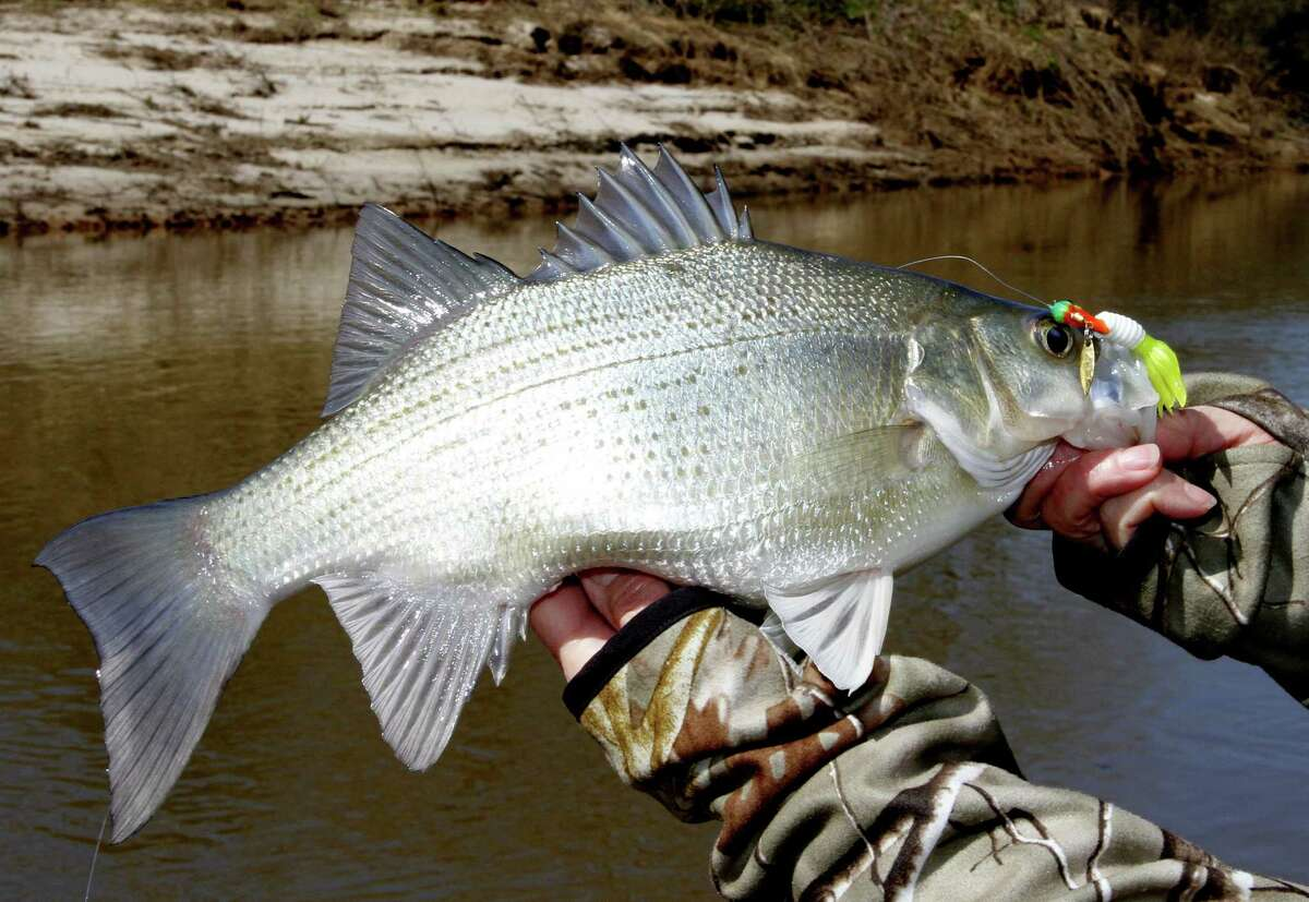 """Anglers fishing the Sabine River above Toledo Bend Reservoir are connecting with the first waves of white bass making the their annual spawning run, heralding the start of what can be great """"winter"""" fishing in the Sabine, Trinity, Neches and San Jacinto rivers over the coming weeks."""