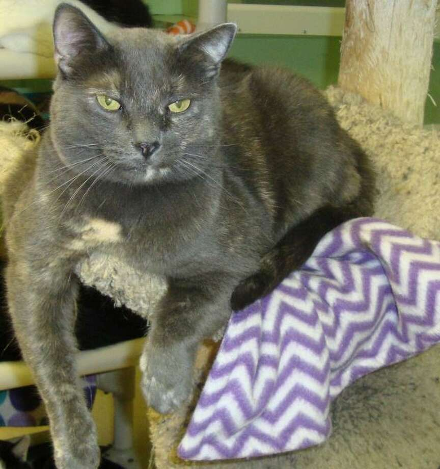 Cadie is a middle-aged dilute tortie looking for a quiet home. She loves treats and curling up on a warm lap. (Mary Lou Baker)