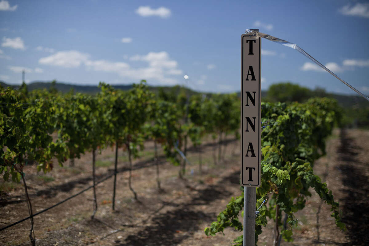 Bending Branch Winery in Comfort is growing tannat grapes.