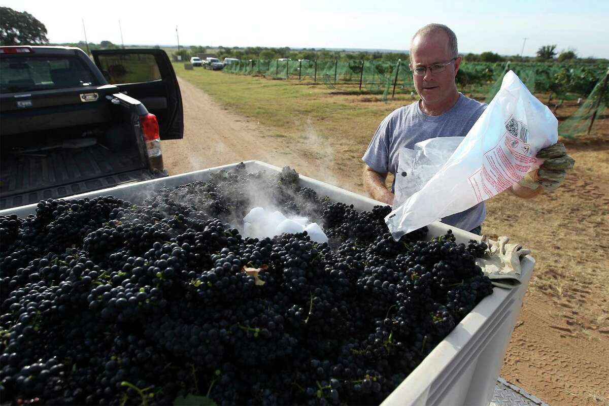 Chris Cobb of Kuhlman Cellars places dry ice into a bin of harvested Touriga Nacional grapes to keep them cool at Robert Clay Vineyards near Mason., Texas on Saturday, Aug. 16, 2014. (Kin Man Hui/San Antonio Express-News)