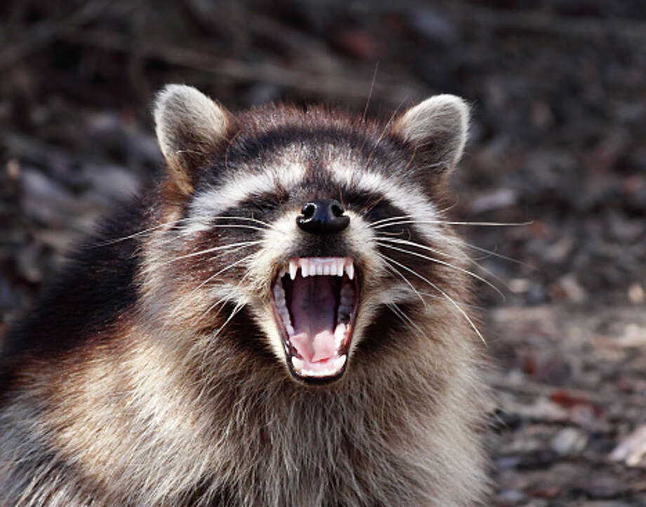This is not a photo of the raccoon encountered in Maine, but it most likely comes pretty close. Photo: Alan Vernon, Getty Images / Flickr RF