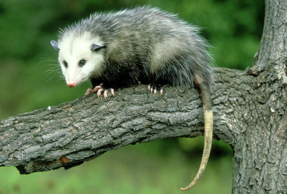 A sober opossum. (Photo of a drunk opossum unavailable.)Cute animal pictures taken at zoos around the world. >>> Photo: Jonathan Gale, Getty Images / (c) Jonathan Gale
