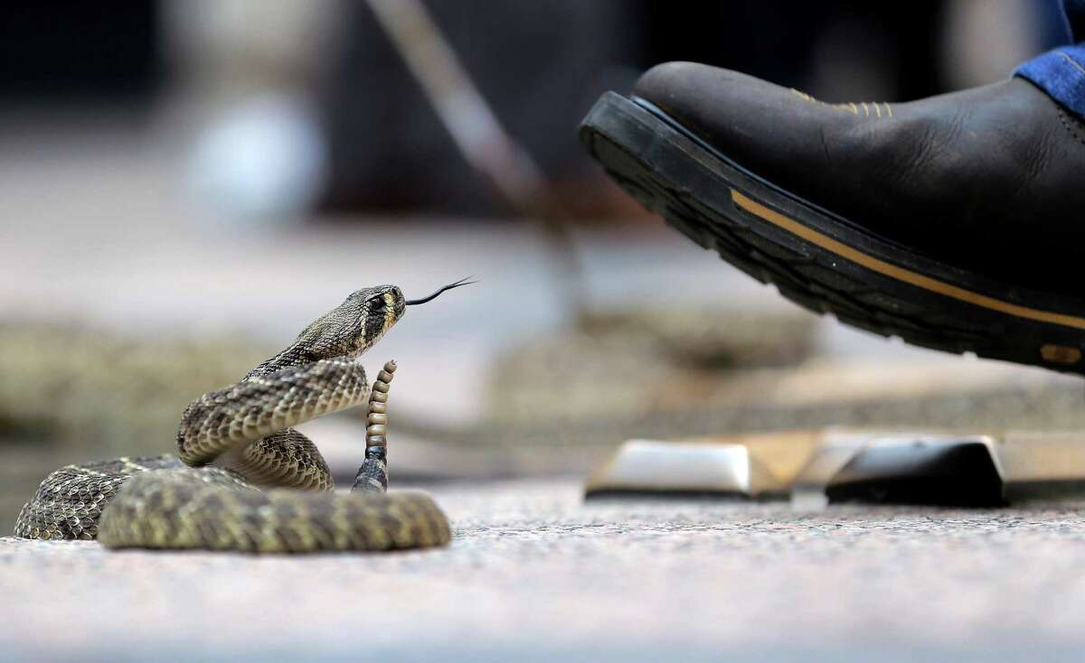 A rattlesnake watches a handler's boot at the Capitol, Monday, Feb. 2, 2015, in Austin, Texas. Members of the Sweetwater Jaycees brought rattlesnakes to promote their annual rattlesnake round-up and help educate visitors.