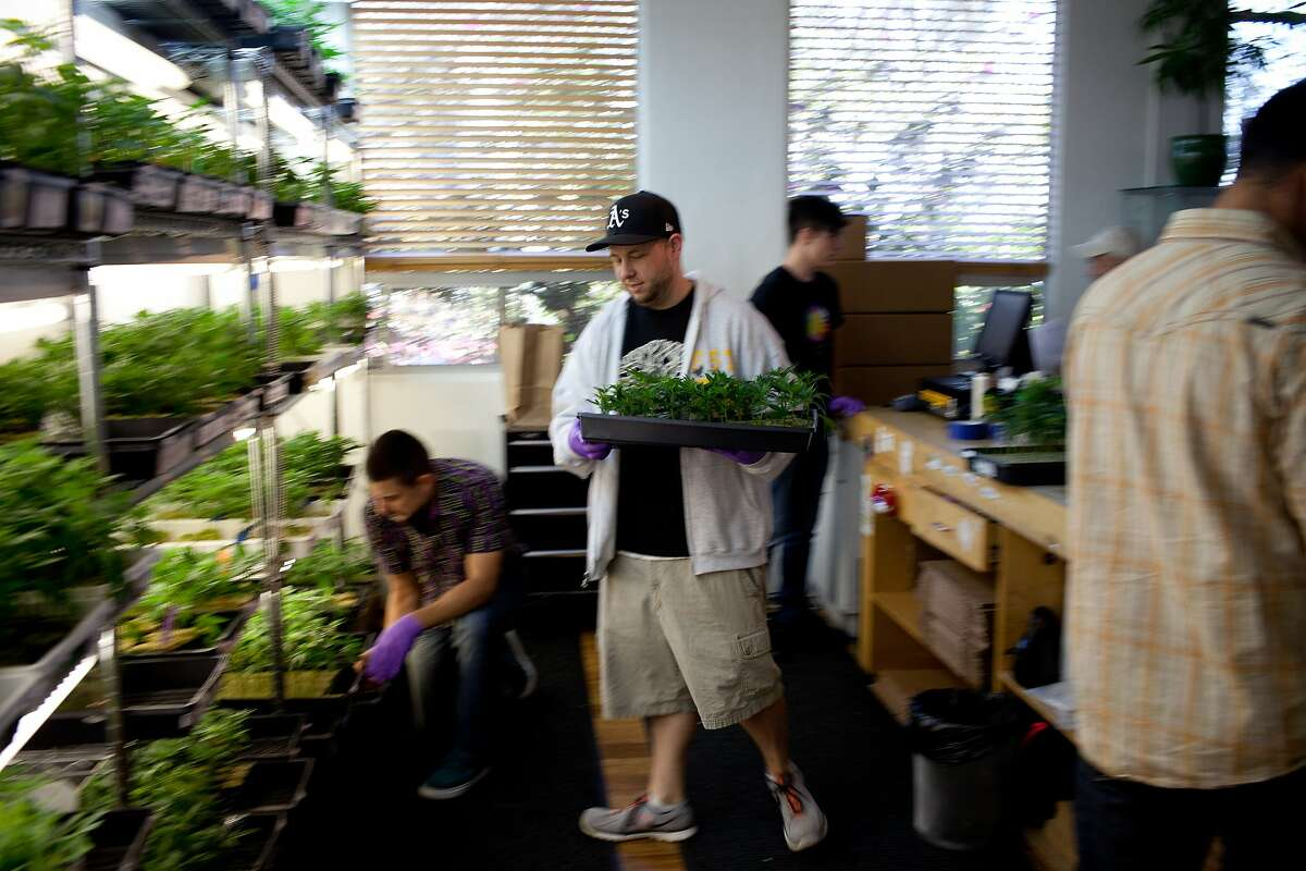 Michael O'Flaherty, center, handles plants in the medical marijuana clones department at Harborside Health Center in Oakland, Calif. on Thusday, June 5, 2014.