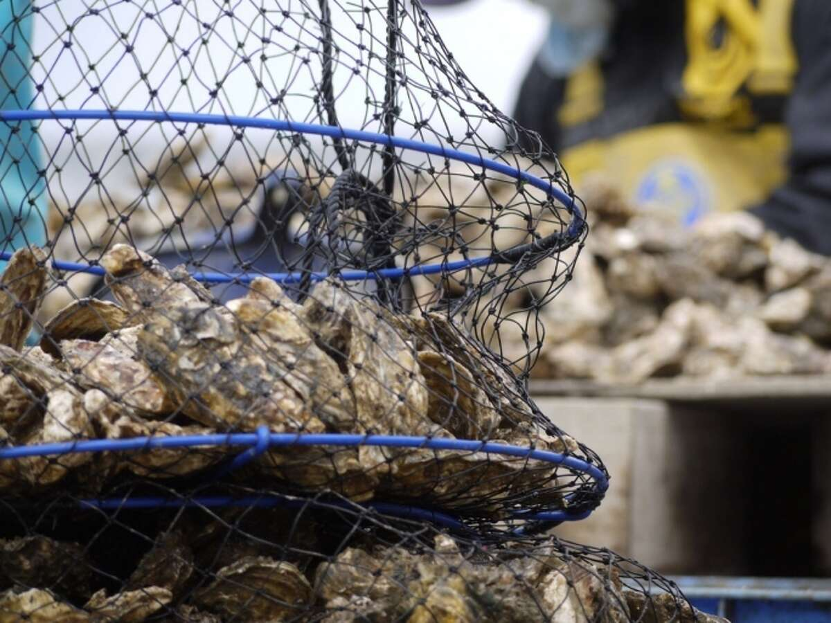 File photo of wild oysters.